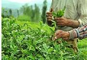 ایران بزرگترین خریدار چای هند در جهان است.